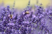 """Lavender from """"Beyond Rosemary, Basil, and Thyme,"""" by Theresa Mieseler."""