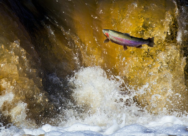 A steelhead jumped the falls along the Knife River in April 2016.
