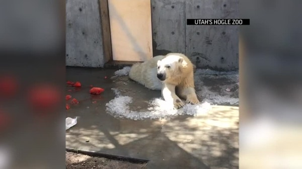 Utah zoo's polar bear chills out with ice cubes