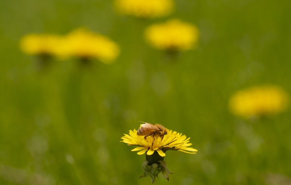 Program to pay Minnesota home owners to let lawn go to bees