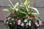 Triple Treat: Shade container garden from Lynde Greenhouse & Nursery.