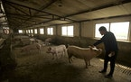In this May 8, 2019, photo, farmer Yang Wenguo reaches out to one of the few dozen remaining pigs from his original herd of 800 in a barn at his pig f
