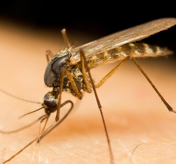To try to stay ahead of mosquitoes in the Twin Cities, the Metropolitan Mosquito Control District has already treated about 100,000 acres.