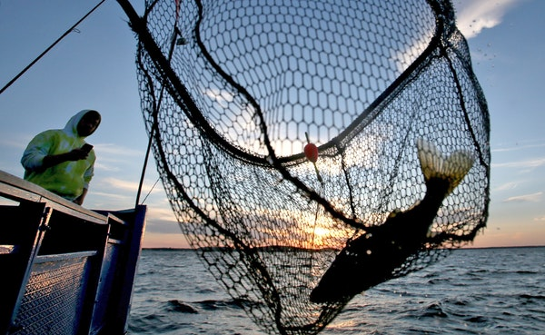 A walleye is netted, caught on the Twin Pines Resort boat in 2015