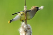 """A cedar waxwing provides a lesson in """"Late Migrations."""" Jim Williams • Special to the Star Tribune"""