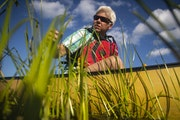 St. Louis River Alliance Executive Director Kris Eilers reached down to test some growing stalks in a patch of wild rice.