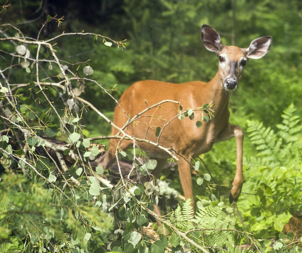 The DNR will reveal Tuesday on its website the plans for the 2019 deer season. CWD will drive many of the changes.