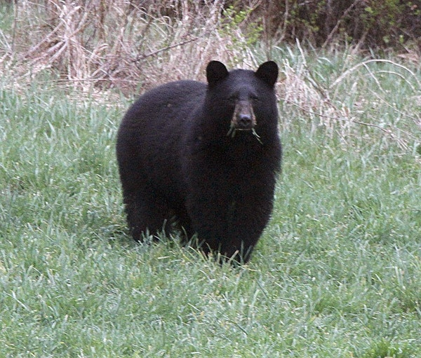 In this April 22, 2012, photo, a black bear grazes in a field in Calais, Vt. Minnesota bear experts say that black bear attacks are rare and fatal att
