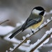 Part of winter's beauty is the sight of a black-capped chickadee.