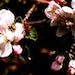 Apple blossoms provide much-needed sustenance for pollinators.