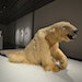 """""""We Dreamt Deaf"""" by Nicholas Galanin: A taxidermy polar bear (shot in the 1970s in Shishmaref by a sport hunter, the village now being swallowed b"""