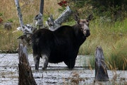 A cow moose is spotted on Isle Royale National Park.