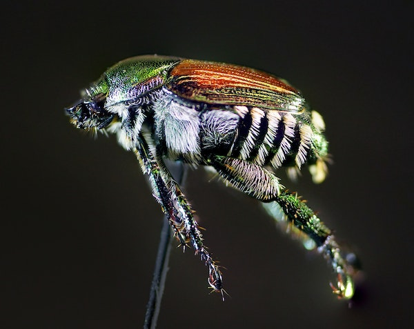 """The Japanese beetle feasts on more than 300 species, including roses, grapes, apples and linden trees. It is among Minnesota's """"Big 3"""" invasive in"""