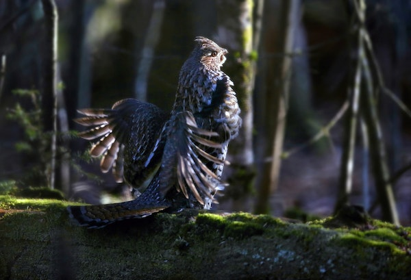 An annual hunt in Grand Rapids, Minn., is used to study the populations of ruffed grouse (above) and woodcock. This year's hunt revealed seemingly g
