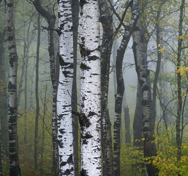 Aspen forests are Minnesota's dominant tree species by far, but that status seems destined to shrink due to climate change.