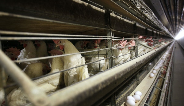 FILE - In this Nov. 16, 2009 file photo, chickens stand in their cages at a farm near Stuart, Iowa. China reopened its market to U.S. poultry, ending