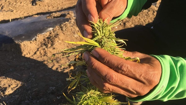Alternative crops, such as hemp, that can be grown on small acreages at a profit are gaining ground.