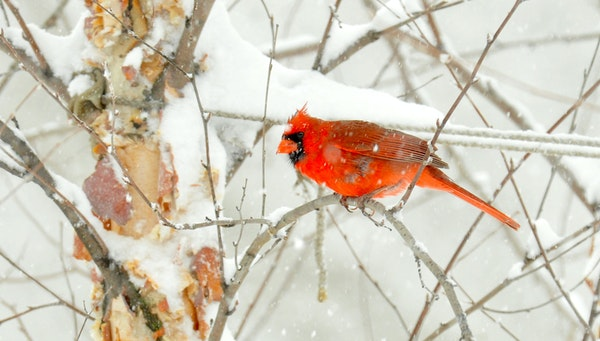 A male cardinal watches the feeders.