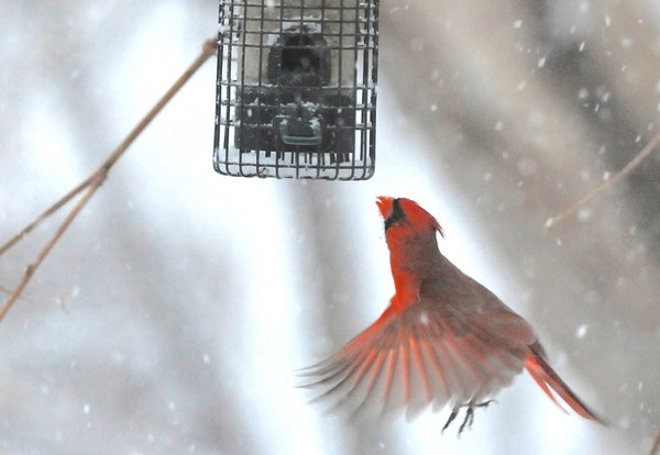 A cardinal, watched by a pine siskin, flutters to a feeder.