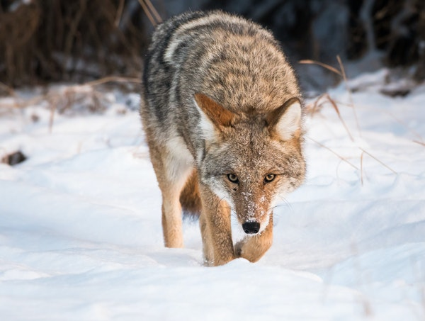 Coyotes have shown a remarkable ability to adapt to any surrounding: rural or city.