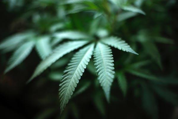 Marijuana at an indoor cannabis farm in Gardena, Calif.