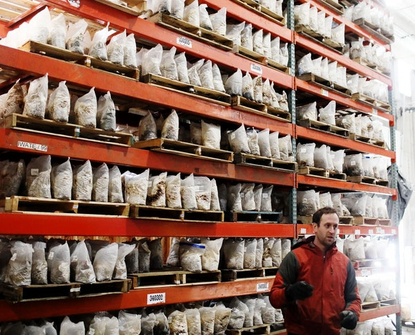 Mississippi Mushrooms president Ian Silver-Ramp near tall shelves of incubating mushrooms Thursday, March 7, 2019, in Minneapolis, MN.
