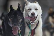 Durant and Splint, Keith Aili's lead dogs, ran along Old Hwy. 61 near Grand Portage, Minn., in the final leg of the John Beargrease sled dog maratho