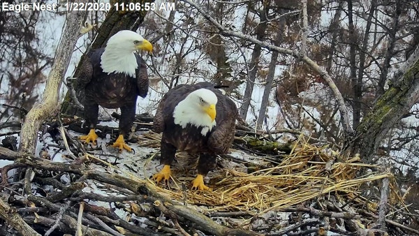 """""""Sid"""" and """"Nancy,"""" as they've been dubbed online, in a still from the EagleCam last month."""