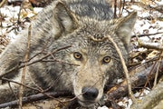 Researchers filmed wolves eating berries last summer after looking at GPS collar data and finding a pack that was spending a lot of time in an area wi