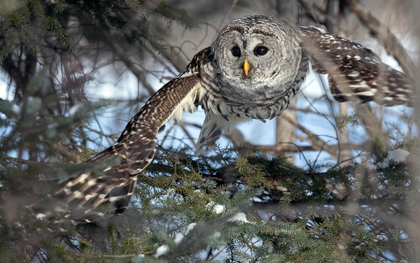 Hunting for voles last week at Winterberry Bog in the Sax-Zim Bog about an hour north of Duluth was this barred owl. A valued sighting by birders, bar