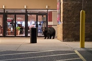 A black bear waited at Duluth's Miller Hill Mall entrance near Noodles & Company.