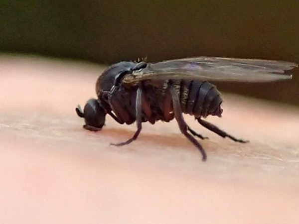 Now what? Gnats? Black fly invasion torments Twin Cities