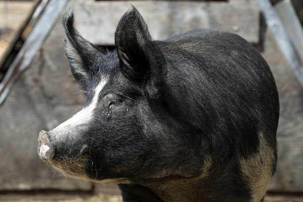 The Minnesota agricultural commissioner said 10,000 hogs a day are being euthanized in Minnesota.