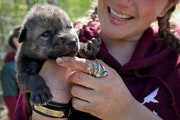 Megan Callahan-Beckel, a member of the Wildlife Science Center animal care staff, held one of three 12-day-old wolf pups that were temporarily removed