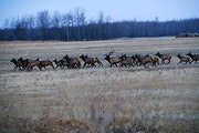 A wild elk herd in northwestern Minnesota crossed grassland. The Department of Natural Resources is working with the Fond du Lac band of Lake Superior