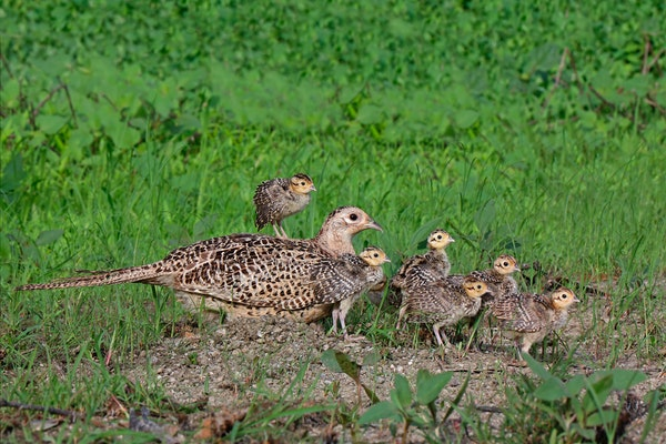 A ringnecked pheasant hen (Phasianus colchicus) and chicks.