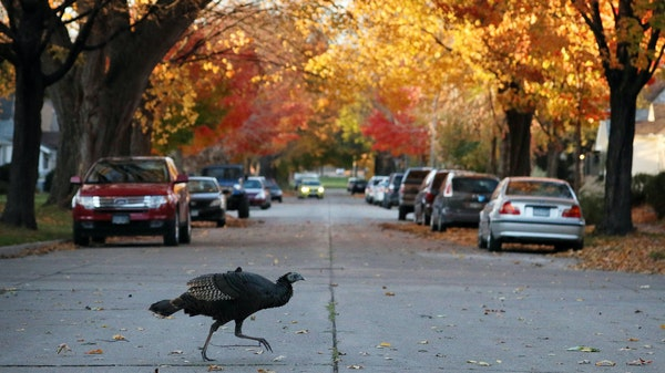 A flock of wild turkey roamed the streets Tuesday in Northeast Minneapolis. ] ANTHONY SOUFFLE • anthony.souffle@startribune.com A flock of wild turk