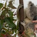 In koalas, chlamydia's ravages are extreme. But the bacteria responsible is remarkably similar to the human one, leading scientists to hope that a c