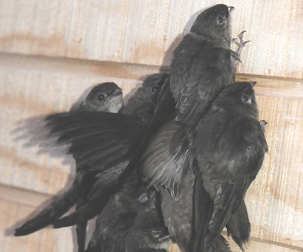 Young chimney swifts about to be released after a stay in rehab.