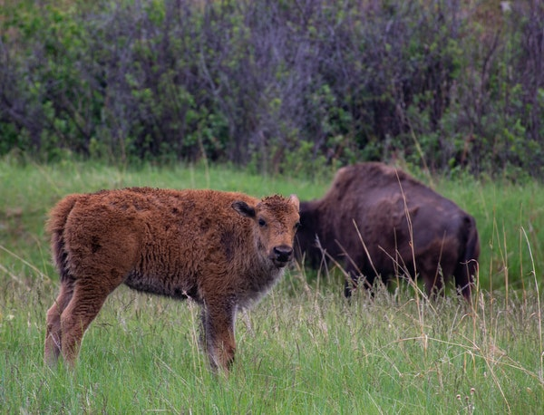 South Dakota's Custer State Park, with bison and other animals, is a great spot to watch wildlife.