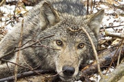 Wolf stories channel Ojibwe legends.