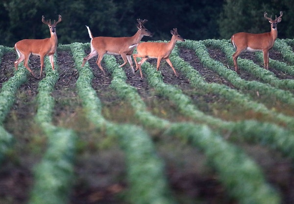 Still gathered together, whitetail bucks, now at the beginning of August, are already in preparation for the coming fall and, later still, winter. Hun