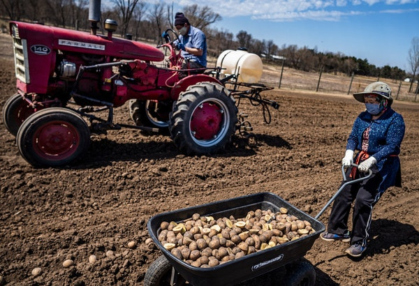 Farmers planted potatoes in April on a 10-acre plot leased from Hmong American Farmers Association land in Dakota County.