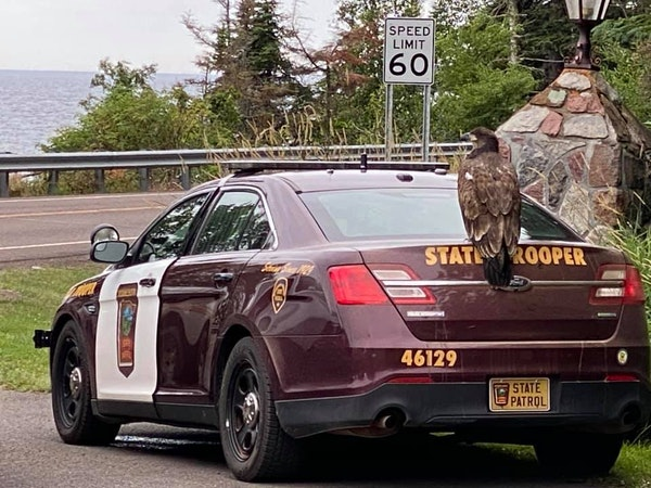 A juvenile bald eagle perches atop a Minnesota State Trooper vehicle as authorities try to move the bird away from Cascade Lodge resort on Hwy. 61, wh
