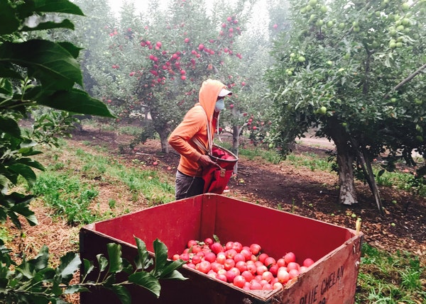 Pandemic crimps labor supply for fruit farms in the West