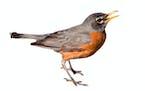 Test - Robins migrating