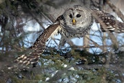 Anderson: Bird watchers come from far away for glimpses at Sax-Zim site
