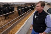 Tom Revier inspected a pen full of Black Angus cattle. His operation, the largest in Minnesota, draws on outside resources to ship meat directly to re