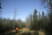 Phased logging has proven to be a great way to improve habitat for wildlife like grouse.