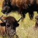 Minneopa State Park in Mankato is one of three sites in the state that's home to some of the 150 bison carefully cultivated by the Minnesota Zoo and